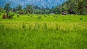 Tarrace del riso con l'agricoltore lavorante in Sidemen Bali, Indonesia Immagine Stock