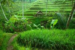 Tarrace del riso in montagne su Bali Immagine Stock Libera da Diritti