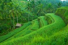 Tarrace del riso in montagne su Bali Fotografia Stock