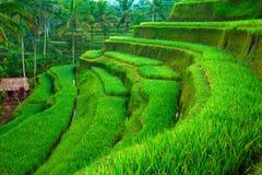 Tarrace del riso in montagne su Bali Fotografie Stock