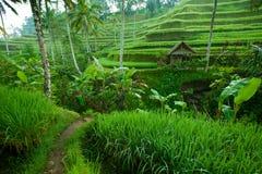 Tarrace del riso in montagne su Bali Immagine Stock