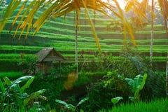 Tarrace del riso sull'isola del Bali, Indonesia. Fotografia Stock