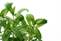 Tarragon. Close-ups of tarragon on white background - spices and herbs stock photo
