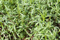 Tarragon Royalty Free Stock Photo