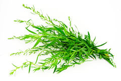 Tarragon. Fresh green herb isolated on white Royalty Free Stock Image
