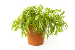 Tarragon Stock Photography