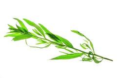 Tarragon (Artemisia dracunculus) Stock Photography