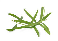 Tarragon. (Artemisia dracunculus) isolated on white background royalty free stock images