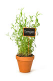 Tarragon in a clay pot with a label Stock Images