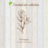 Tarragon, essential oil label, aromatic plant Stock Image