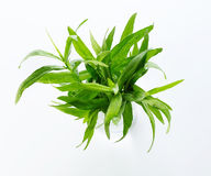 Tarragon herb Stock Photography