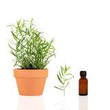 Tarragon Herb. Growing in a terracotta pot with specimen leaf sprig and aromatherapy essential oil brown glass bottle, over white background. Can also be used stock photos