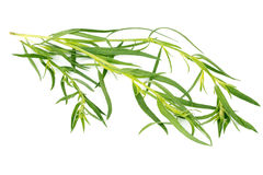 Tarragon herbs isolated on white background Royalty Free Stock Photos