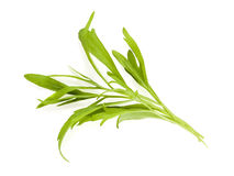Tarragon leaves isolated Royalty Free Stock Images