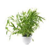 Tarragon perennial aromatic culinary herb Stock Photo