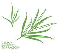 Tarragon.  plants on white background Royalty Free Stock Photo