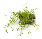 Tarragon spice Royalty Free Stock Photography