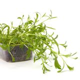 Tarragon spice. Isolated on white background close up stock images