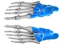 Tarsal bones Royalty Free Stock Image