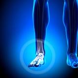 Tarsals/фаланстеры - косточки лодыжки - косточки анатомии иллюстрация вектора