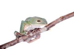 Tarsier在白色的猴子青蛙 库存照片