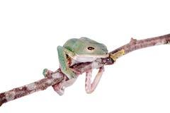 Tarsier在白色的猴子青蛙 免版税库存图片