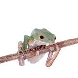 Tarsier在白色的猴子青蛙 免版税库存照片