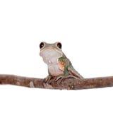 Tarsier在白色的猴子青蛙 图库摄影