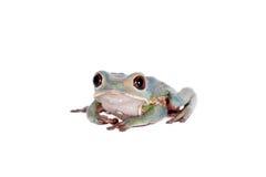 Tarsier在白色的猴子青蛙 免版税图库摄影