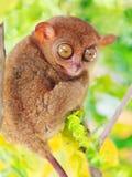 tarsier的phillipine 库存图片