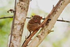 tarsier菲律宾的sarangani 库存照片