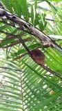 Tarsier в Bohol, Филиппинах Самая малая обезьяна в мире стоковые изображения rf