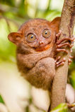 Tarsier猴子在自然环境里 图库摄影