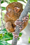 Tarsier Stock Photography