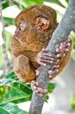tarsier Стоковая Фотография