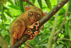 Tarsier. (Tarsius Syrichta), the world's smallest primate in Bohol, Philippines Stock Images