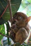 tarsier Стоковые Фотографии RF