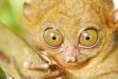 tarsier 免版税库存照片