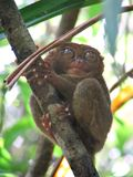 Tarsier Fotos de Stock Royalty Free