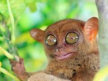 tarsier 免版税库存图片