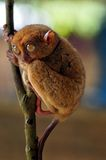 tarsier 库存图片