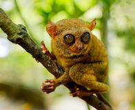 Tarsier Foto de Stock Royalty Free