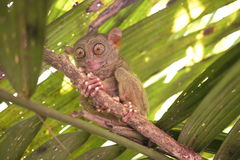 Tarsier. Philippine tarsier in its natural habitat royalty free stock image