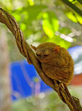 Philippines Tarsier Royalty Free Stock Images