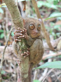 Tarsier Photo stock