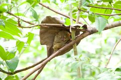 Tarsier photos stock