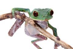 Tarsier-Affe-Frosch auf Weiß Lizenzfreies Stockbild