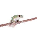 Tarsier-Affe-Frosch auf Weiß Lizenzfreies Stockfoto