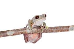 Tarsier-Affe-Frosch auf Weiß Stockfotografie