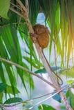 Tarsier Bohol, Filippinerna, closeupstående, sitter på ett träd i djungeln Fotografering för Bildbyråer